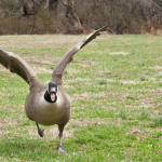 angrygoose